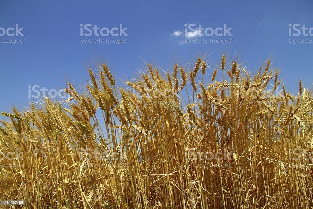 Golden wheat on blue sky royalty-free stock photo