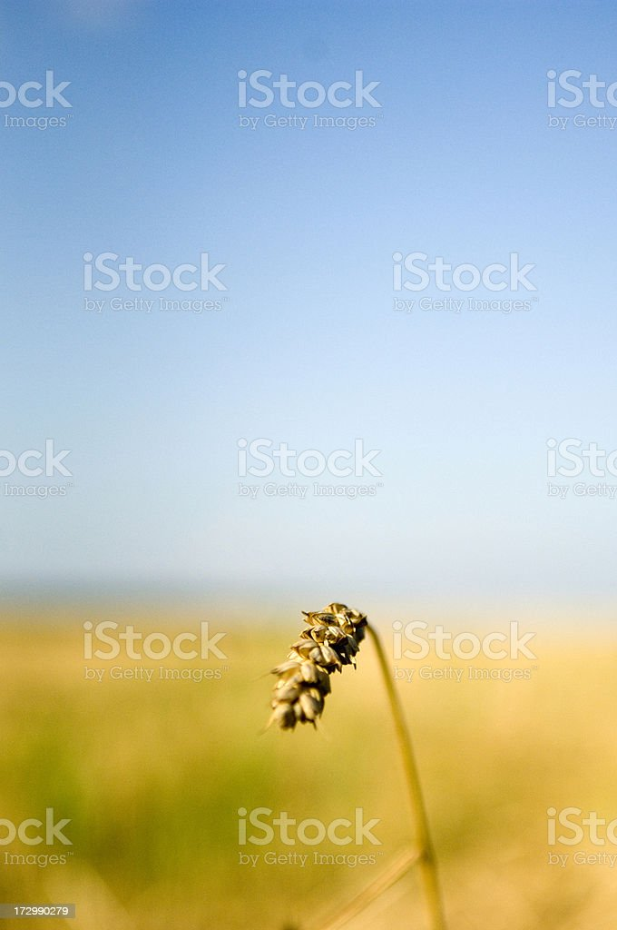 Golden wheat royalty-free stock photo