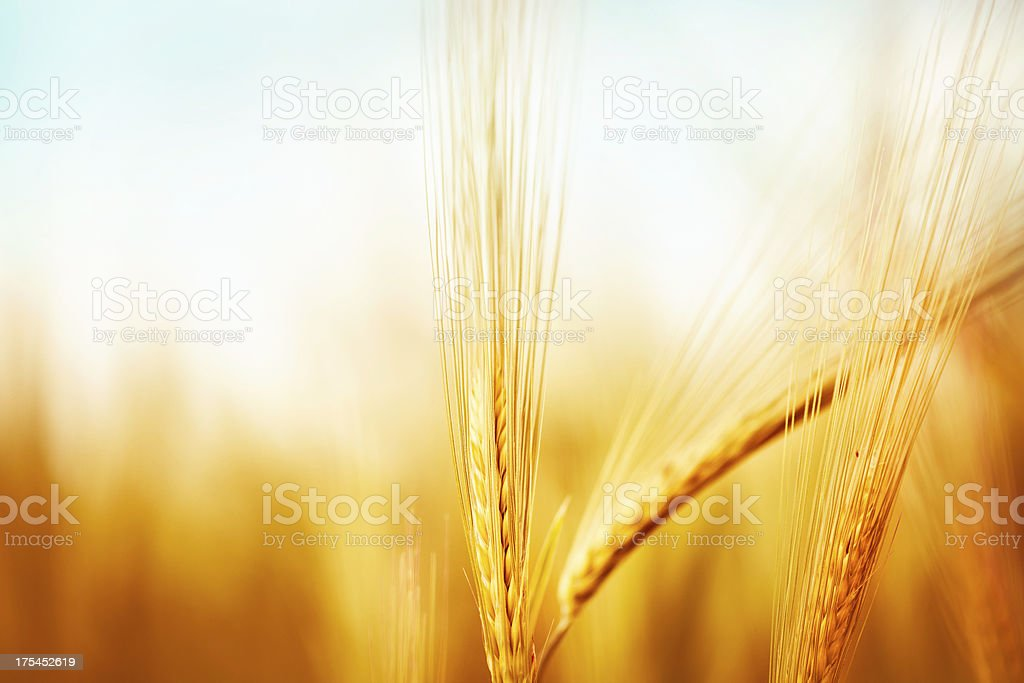 Golden wheat stock photo