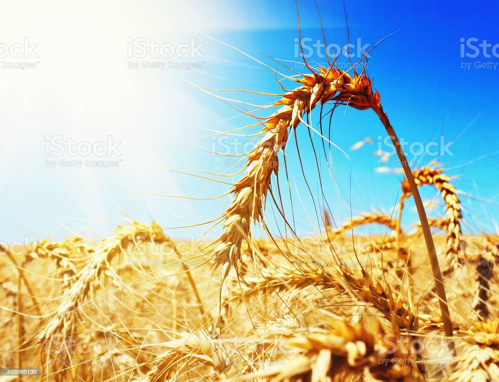 Golden wheat ripening in a sunlit field stock photo