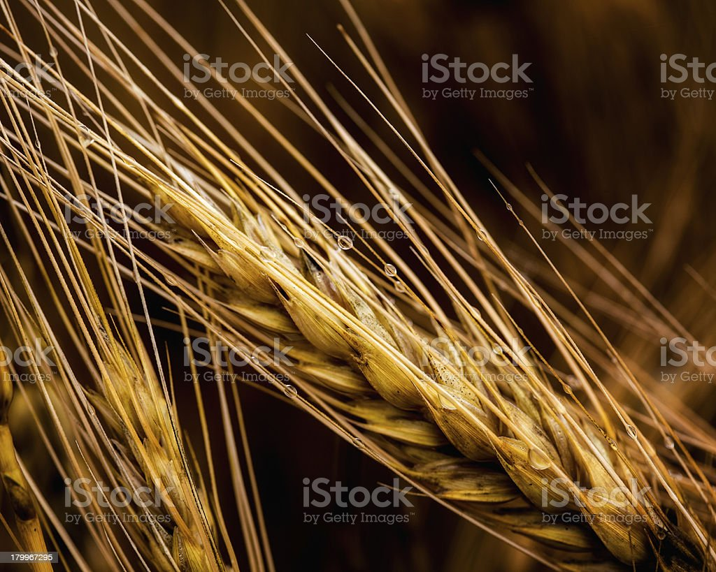 Golden Wheat With Rain Drops royalty-free stock photo