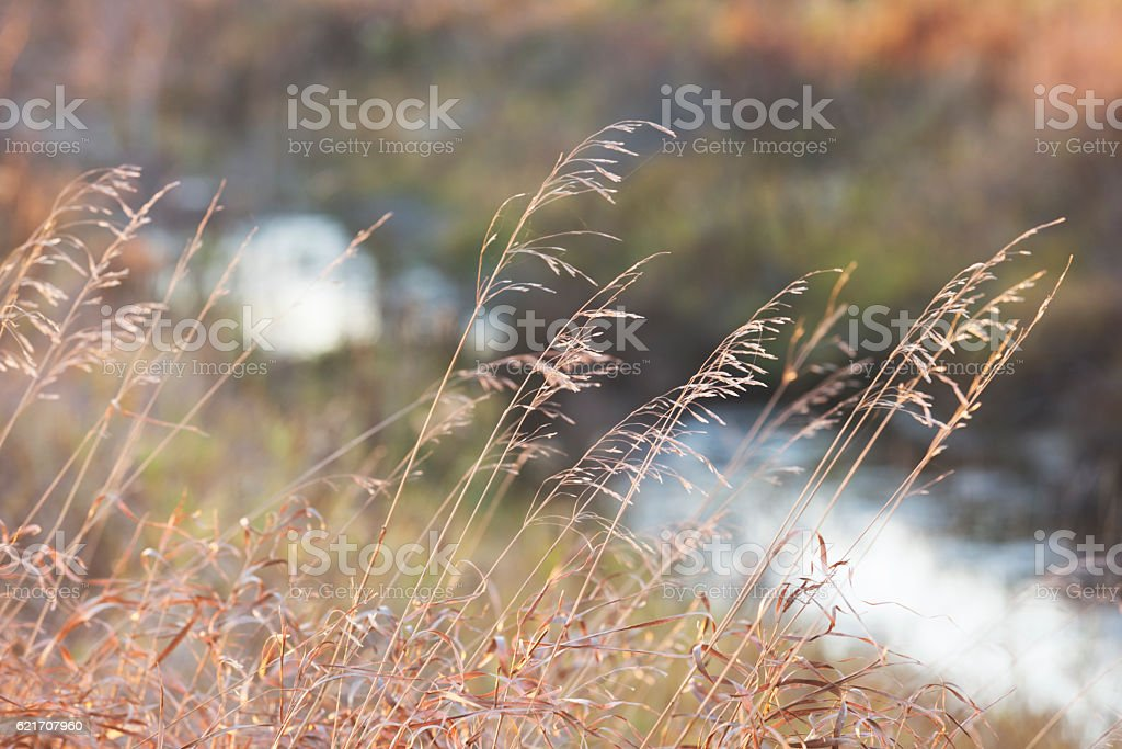 Golden Wild Grass stock photo