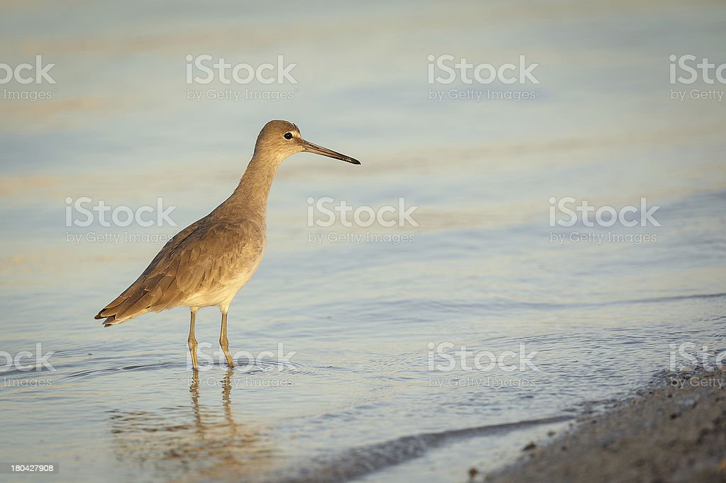 Golden willet royalty-free stock photo