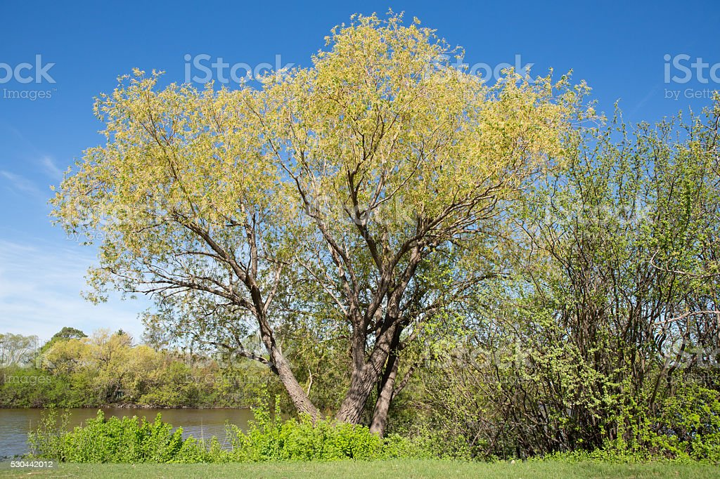 Golden willow tree surrounded by caragana bushes at lake stock photo