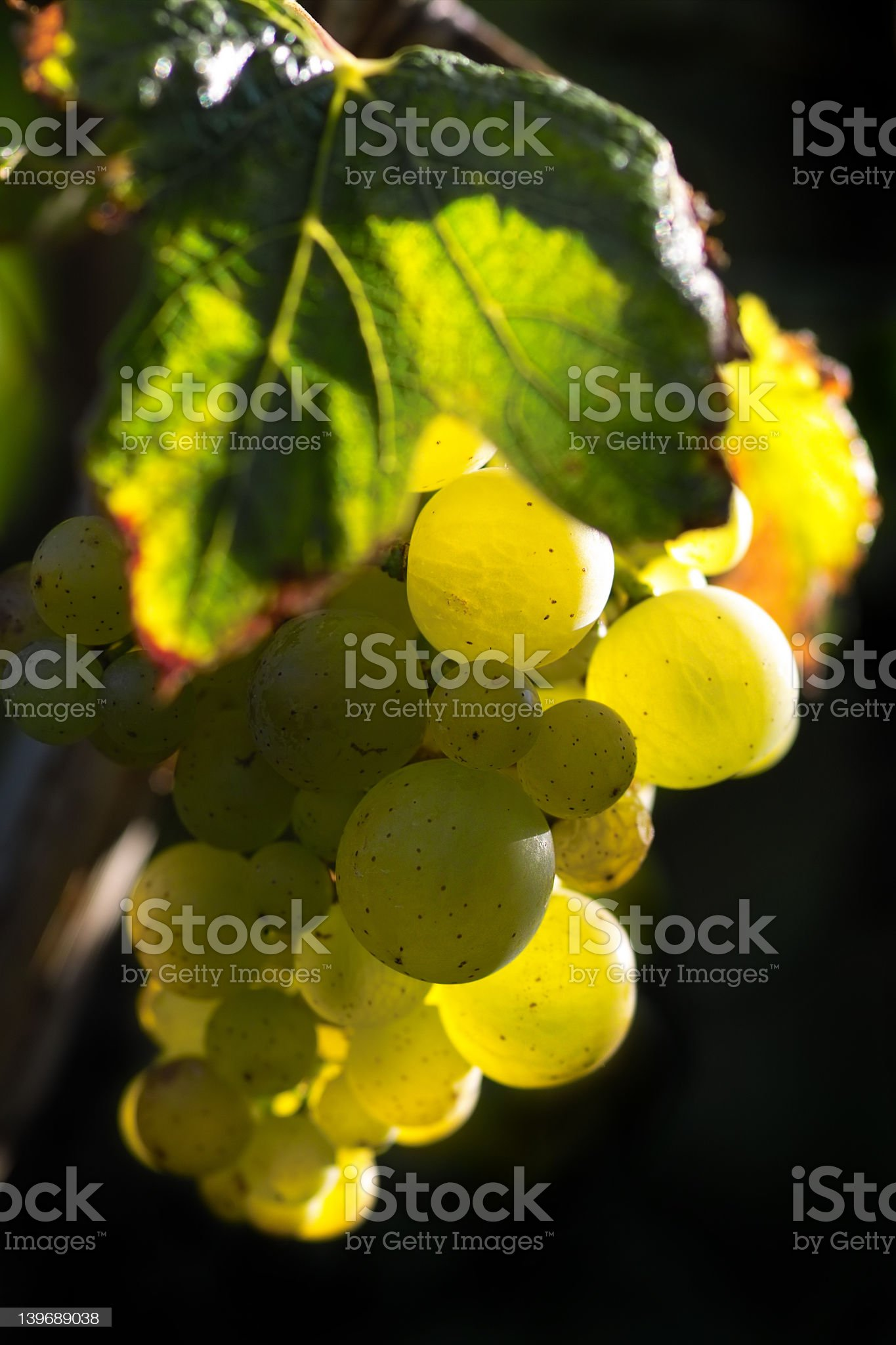 Golden wine grapes royalty-free stock photo