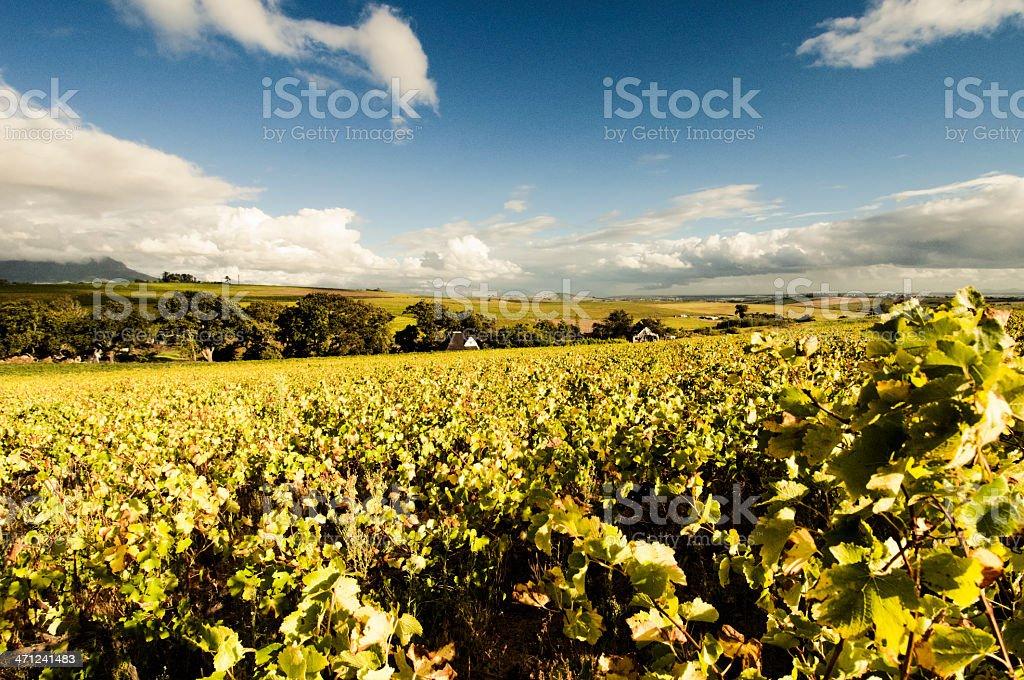 Golden winelands in autumn stock photo