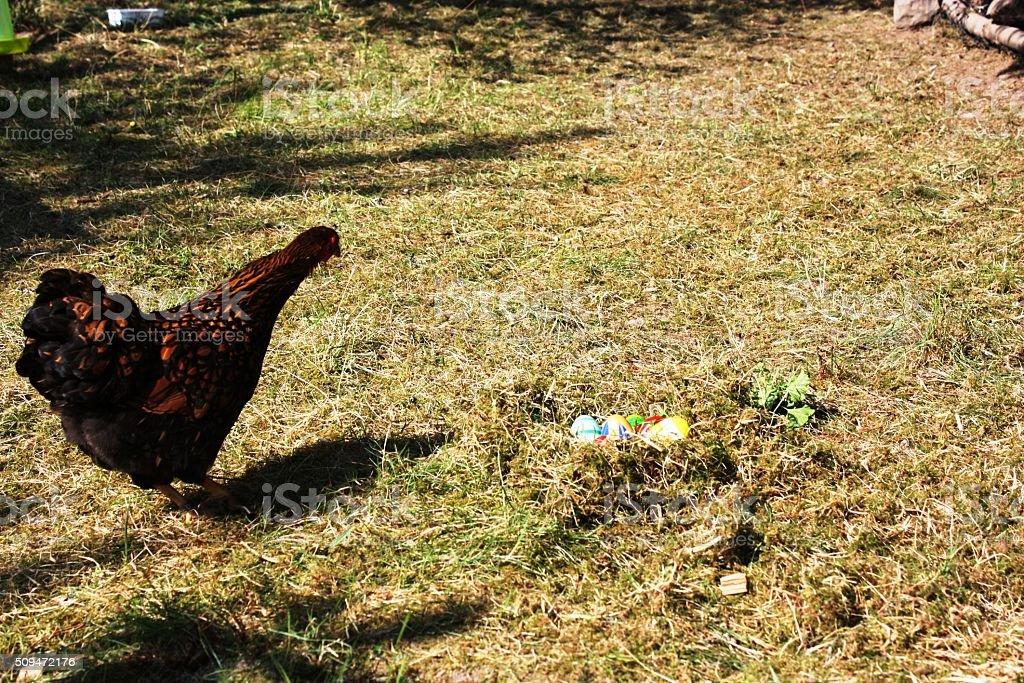 Golden Wyandotte Hen and Easter Eggs Nest stock photo