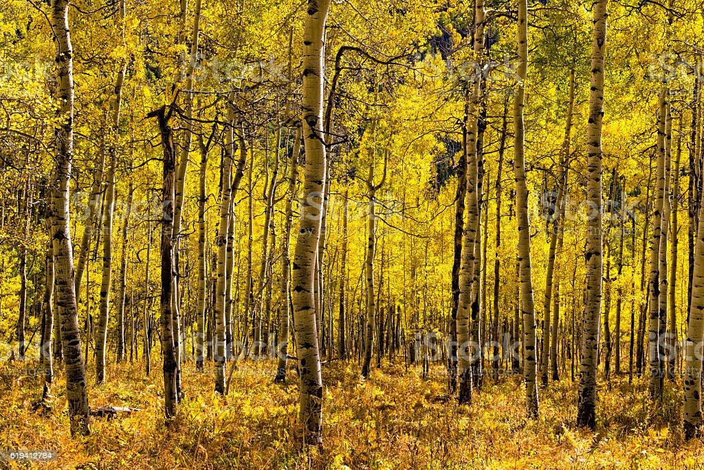 Golden Yellow Aspen Mountain Forest stock photo