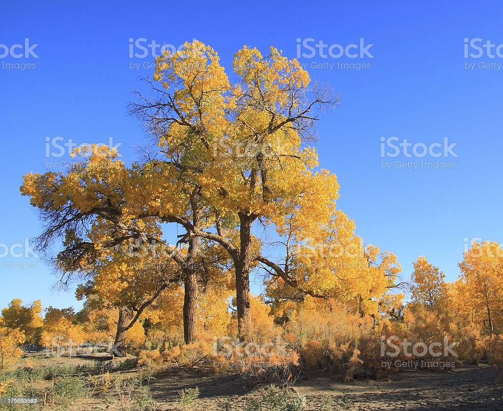 Golden yellow autumn populus trees royalty-free stock photo