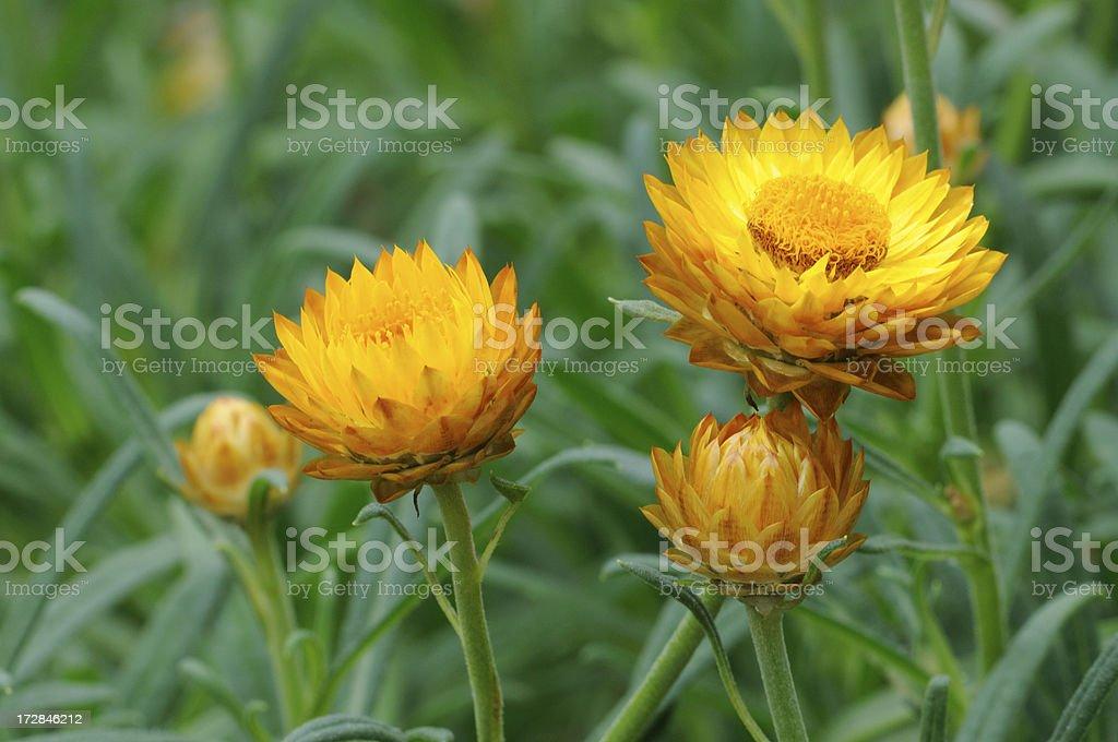 Golden Yellow Strawflower royalty-free stock photo