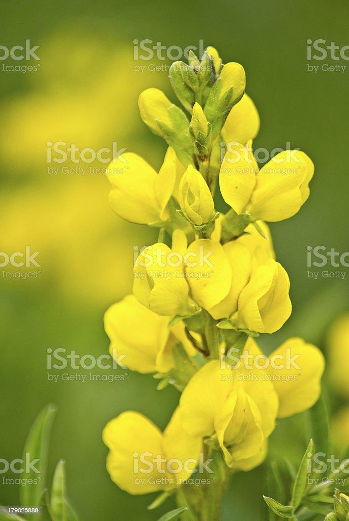 Golden Yellow Summer Wildflowers royalty-free stock photo