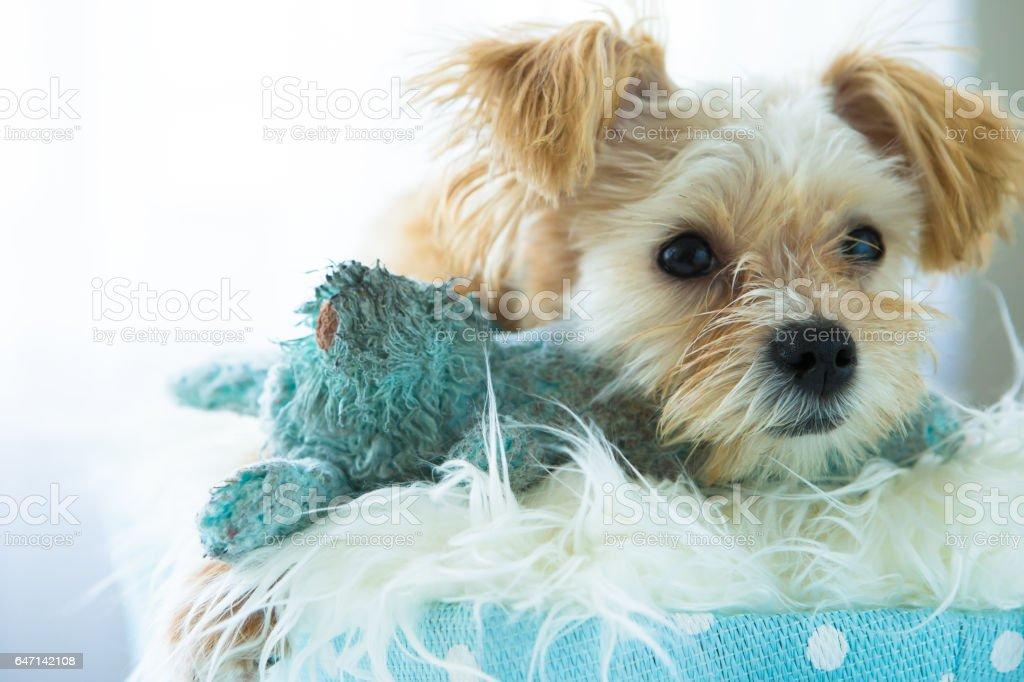 Golden Yorkshire Terrier stock photo