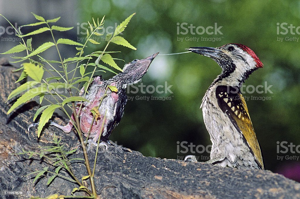 Goldenbacked Woodpecker royalty-free stock photo