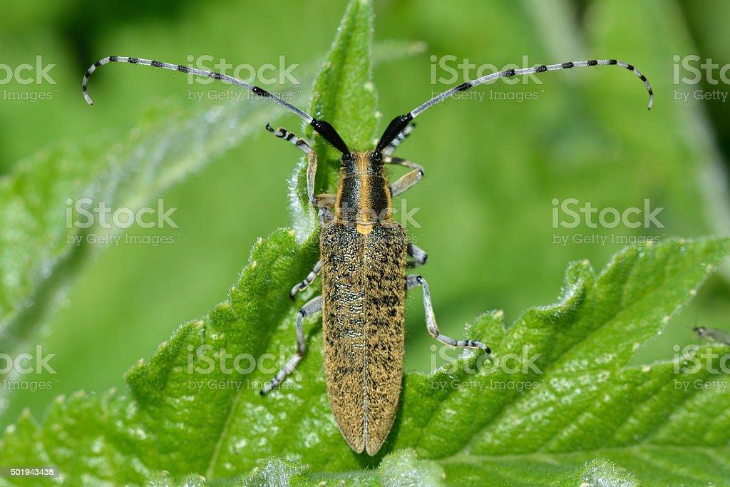 Golden-bloomed grey longhorn beetle (Agapanthia villosoviridescens) stock photo