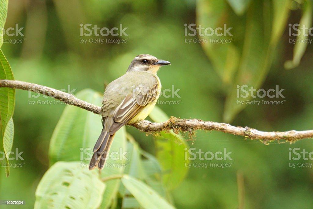 Golden-crowned flycatcher stock photo