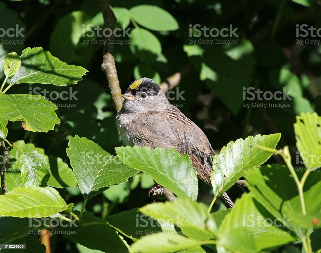Golden-crowned Sparrow stock photo