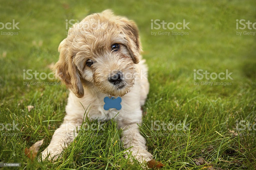 Goldendoddle Puppy Laying in Grass stock photo