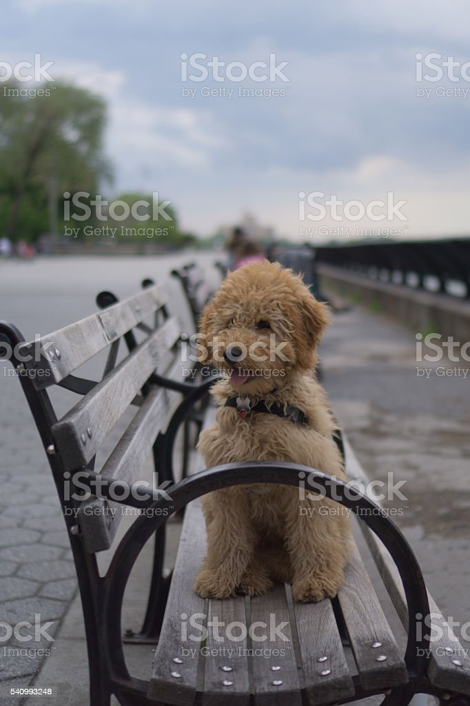 Goldendoodle in the park stock photo