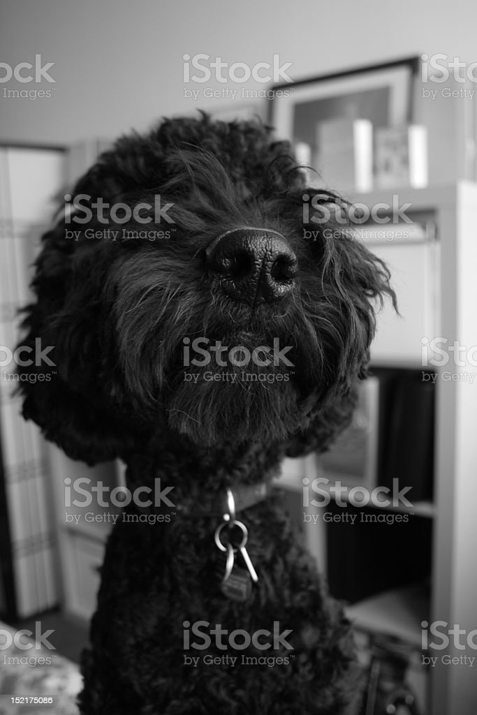 Goldendoodle - Nose royalty-free stock photo