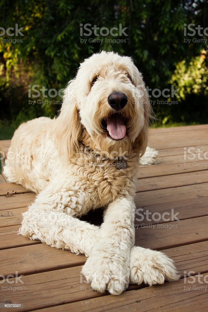 Goldendoodle royalty-free stock photo