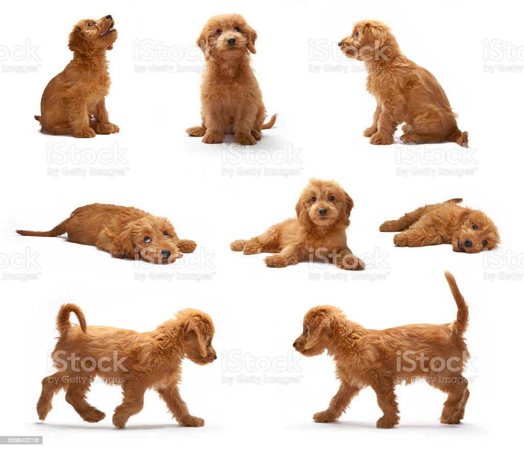 Goldendoodle puppy photo shoot montage stock photo