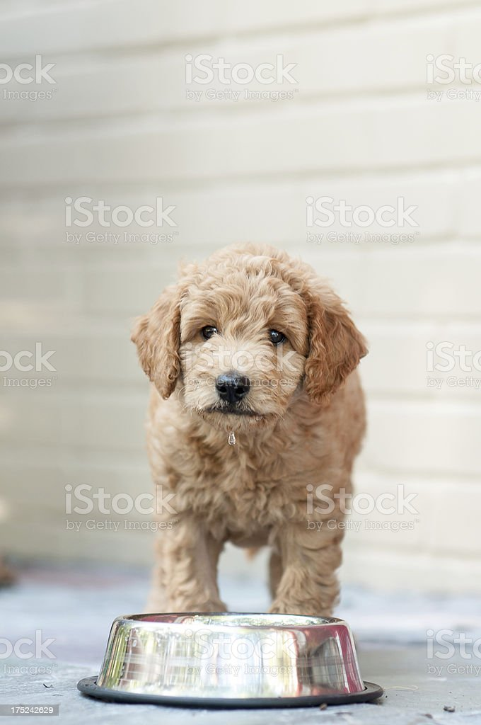 Goldendoodle Puppy royalty-free stock photo
