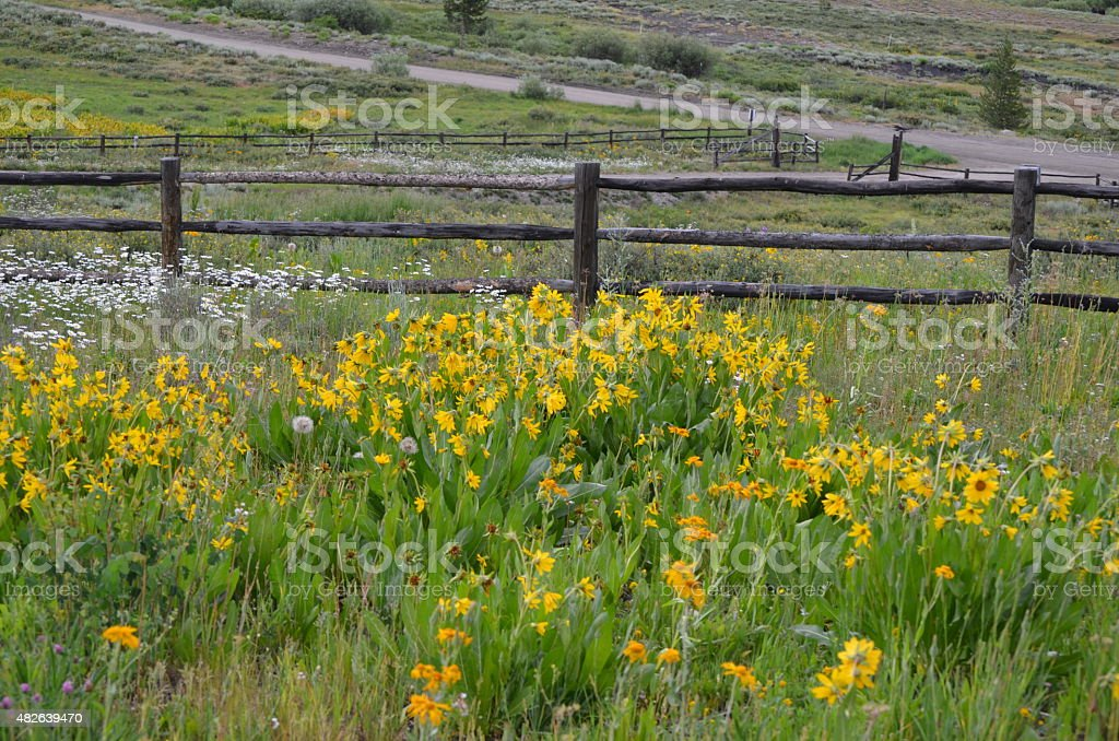 Goldeneye wildflowers and split rail fence stock photo
