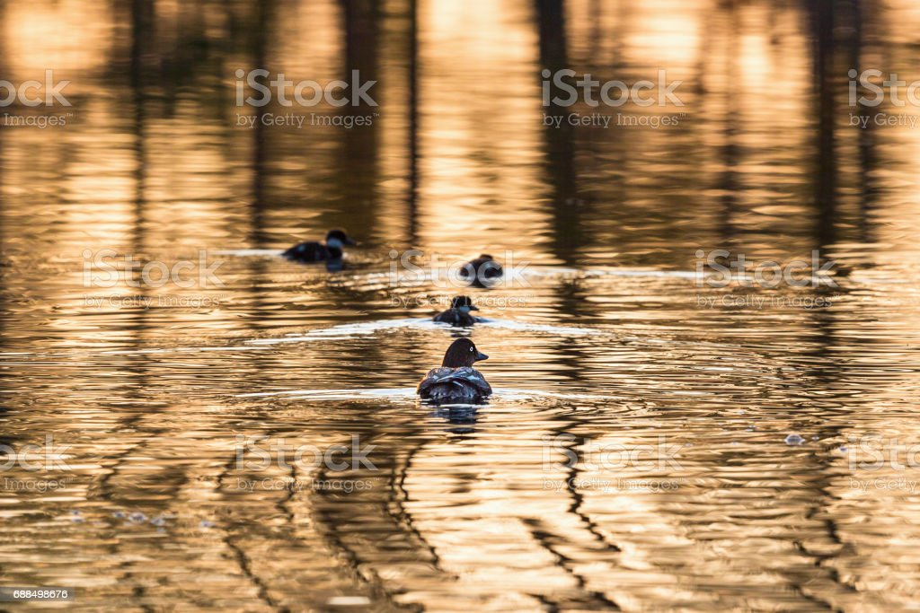 Goldeneye with ducklings stock photo