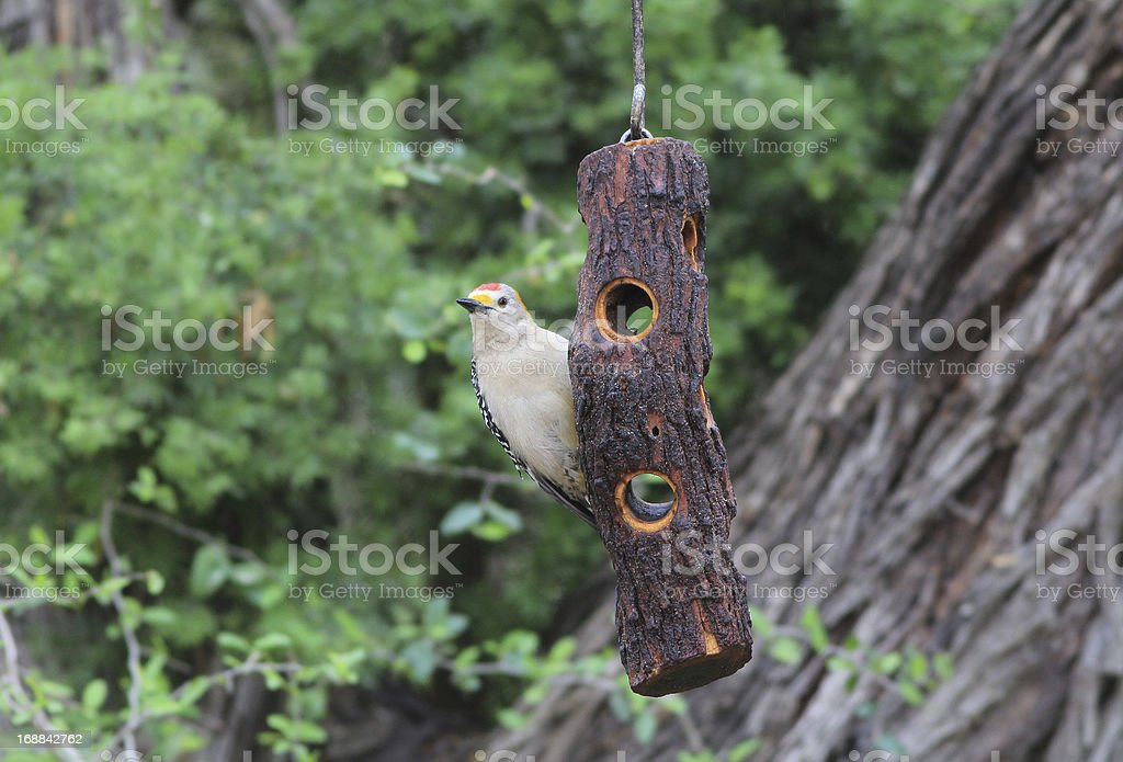 Golden-fronted Woodpecker stock photo