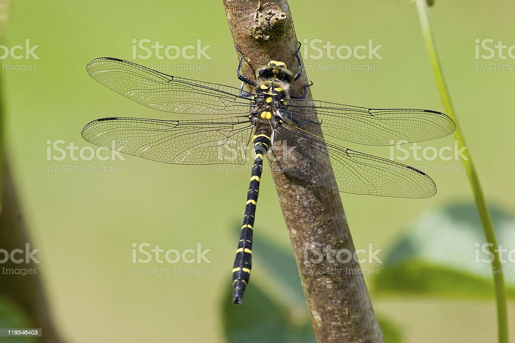 Golden-ringed dragonfly Top View Closeup stock photo