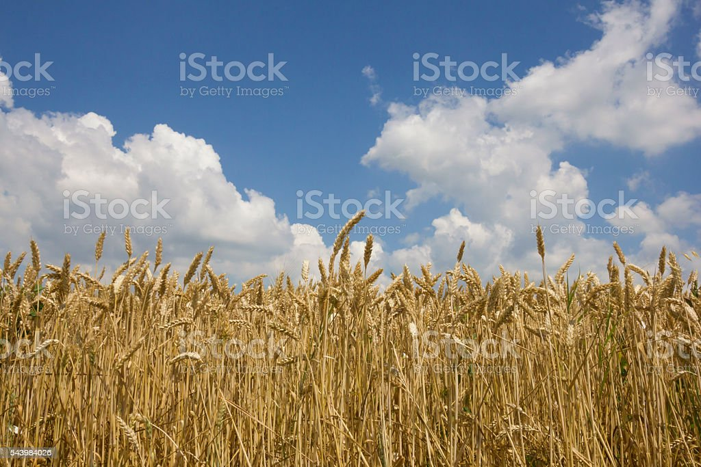 Golden,ripe wheat with white cumulus clouds in sky above stock photo