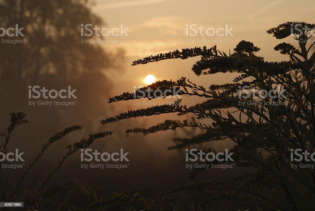 Goldenrod at the sunrise royalty-free stock photo