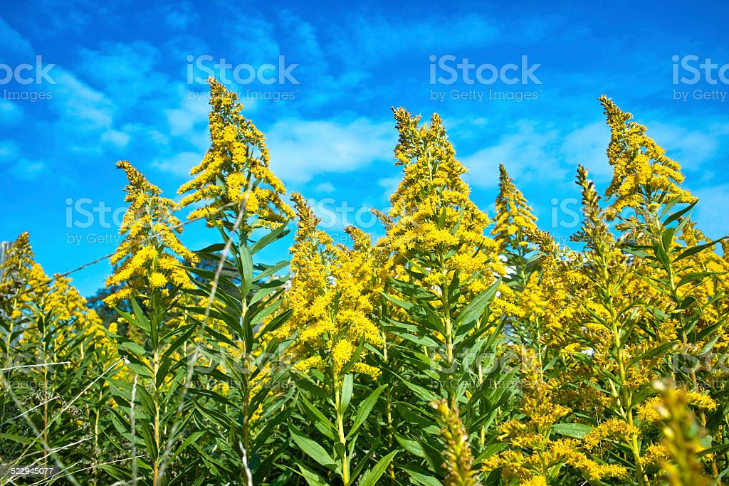 Goldenrod be mistaken to ragweed stock photo