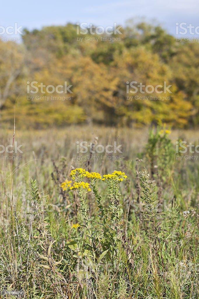 Goldenrod Flower From Kansas royalty-free stock photo