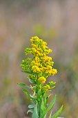 Goldenrod in Bloom