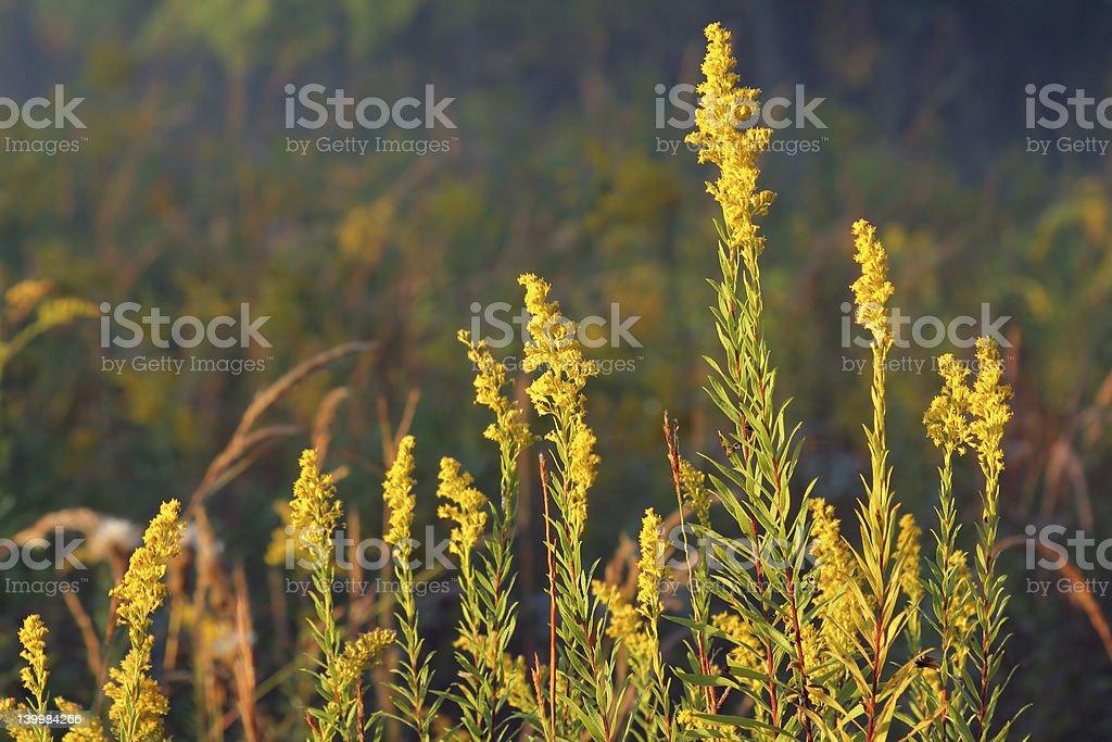 Goldenrod royalty-free stock photo
