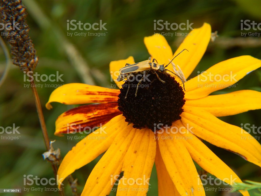 Goldenrod Soldier Beetle on Yellow Coneflower stock photo