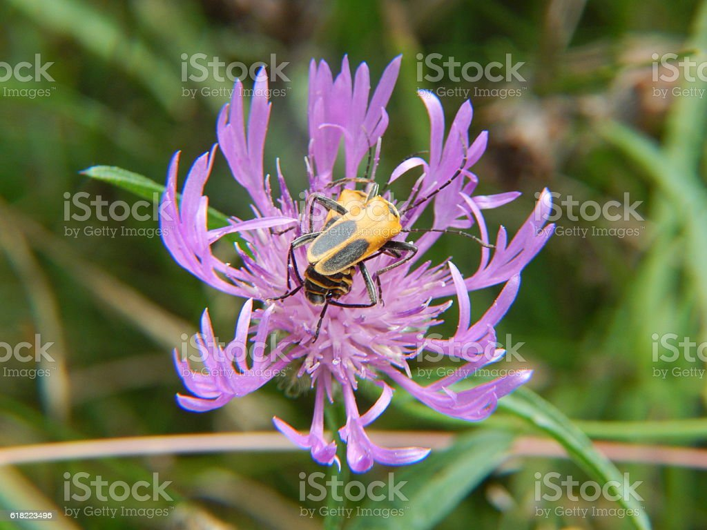 Goldenrod Soldier Beetles Mating on Knapweed Flower stock photo