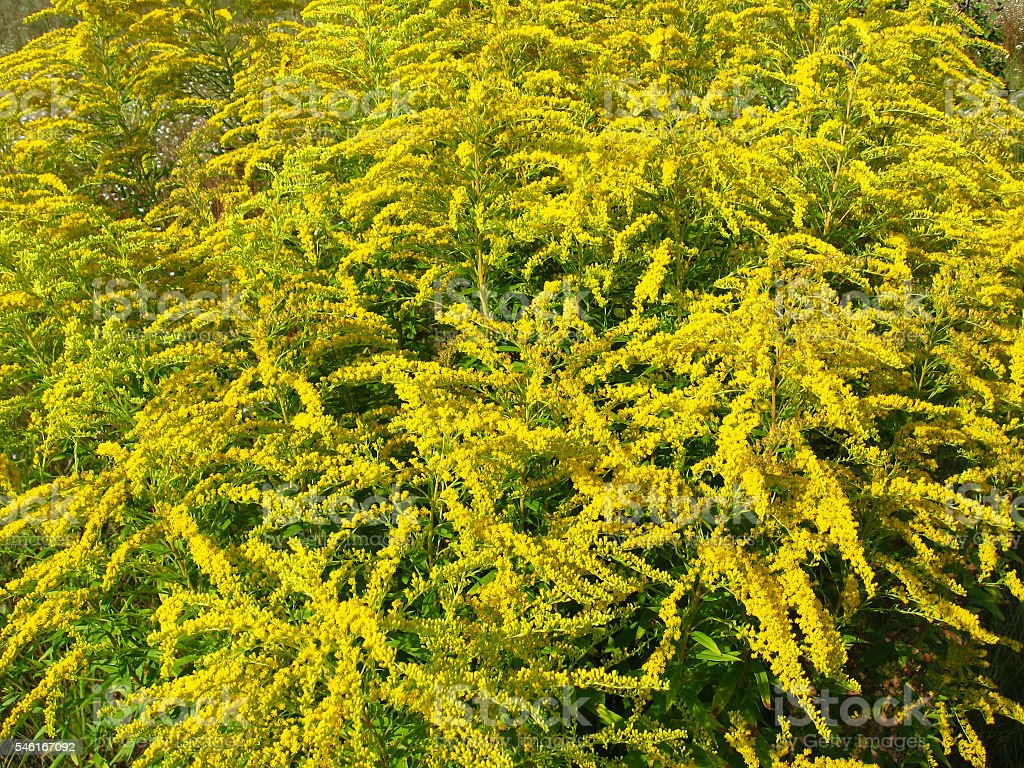 Goldenrod yellow meadow flowers stock photo