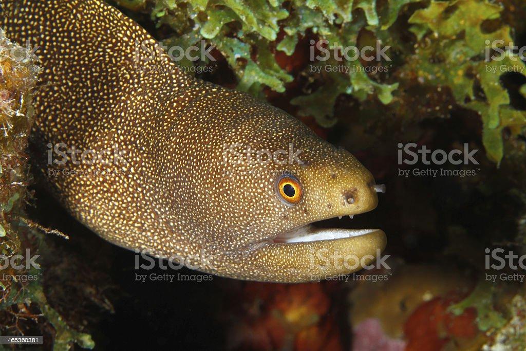 Goldentail Moray - Bonaire stock photo