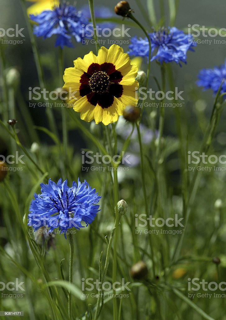 goldenwave with cornflowers royalty-free stock photo