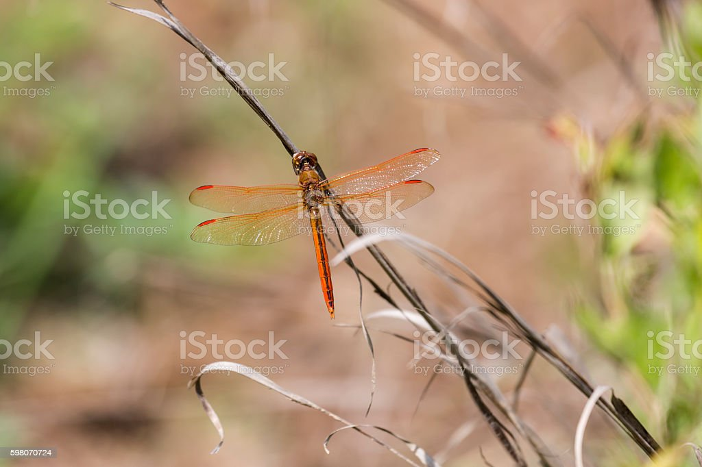 Golden-winged Skimmer Dragonfly (Male) stock photo