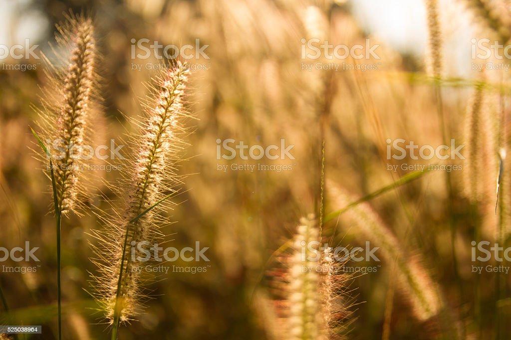 Goldern grass flowers on warm light background stock photo