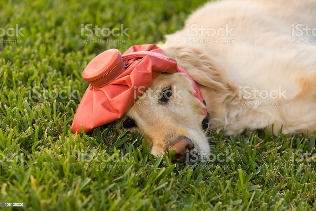 Goldern Retriever Wearing Ice Pack on Head stock photo