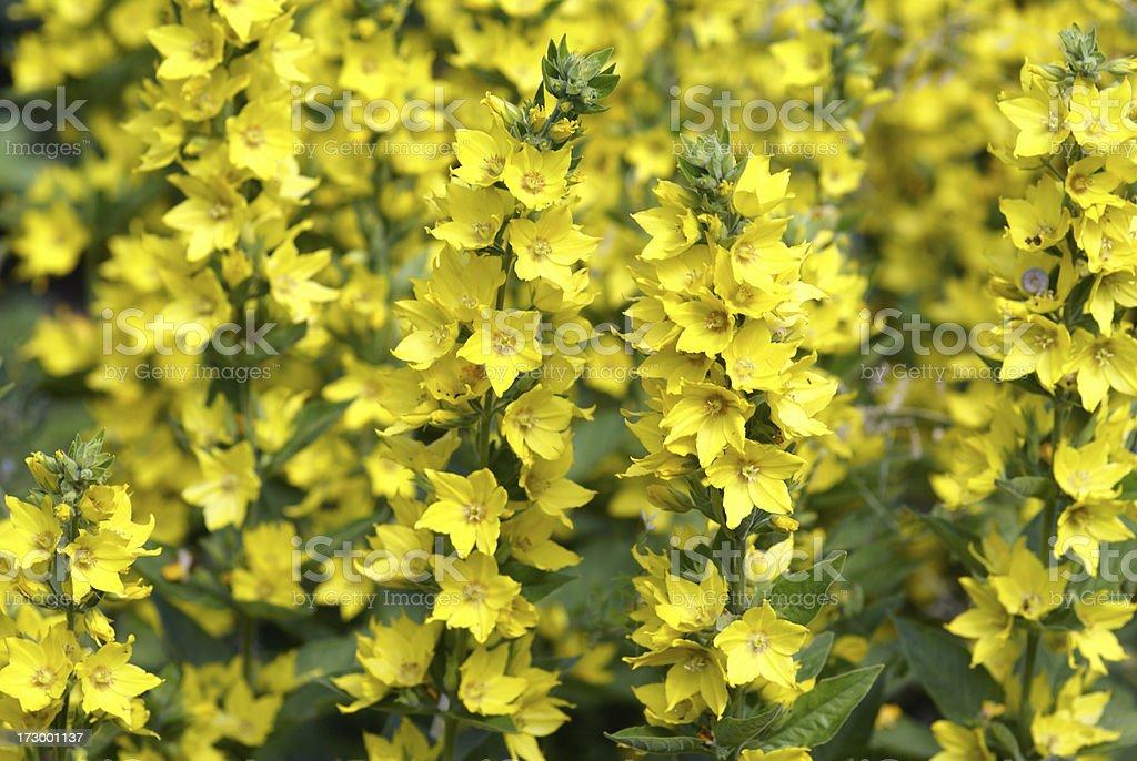 Gold-Felberich flowers stock photo