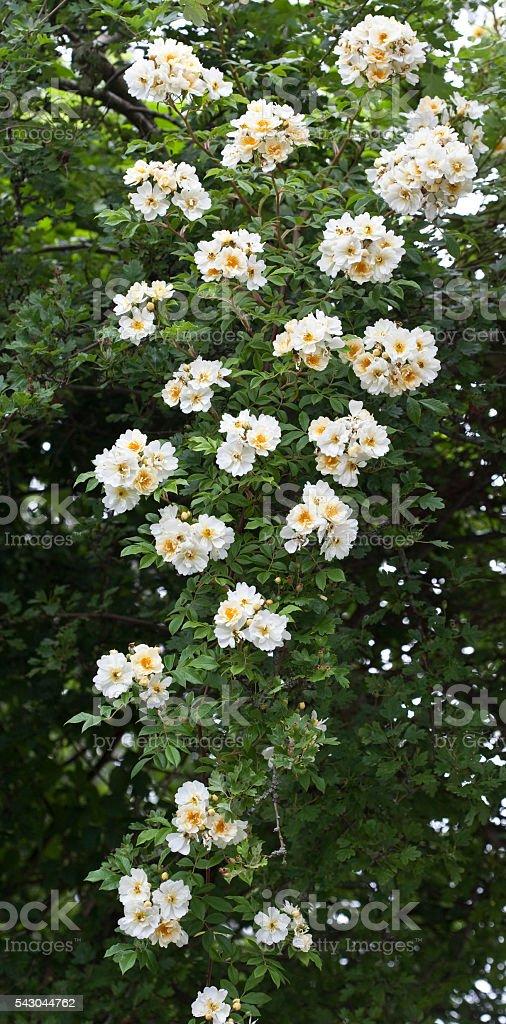 Goldfinch a Climbing Rose stock photo