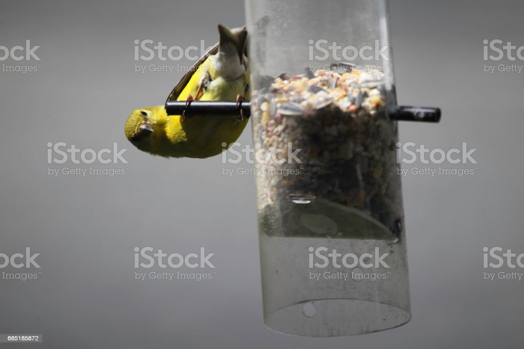 Goldfinch and Birds Feeder stock photo