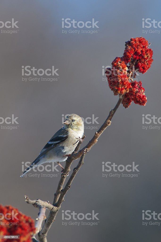 Goldfinch and sumac stock photo