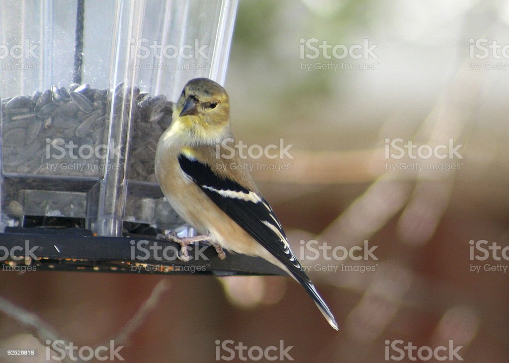 Goldfinch at the Feeder stock photo