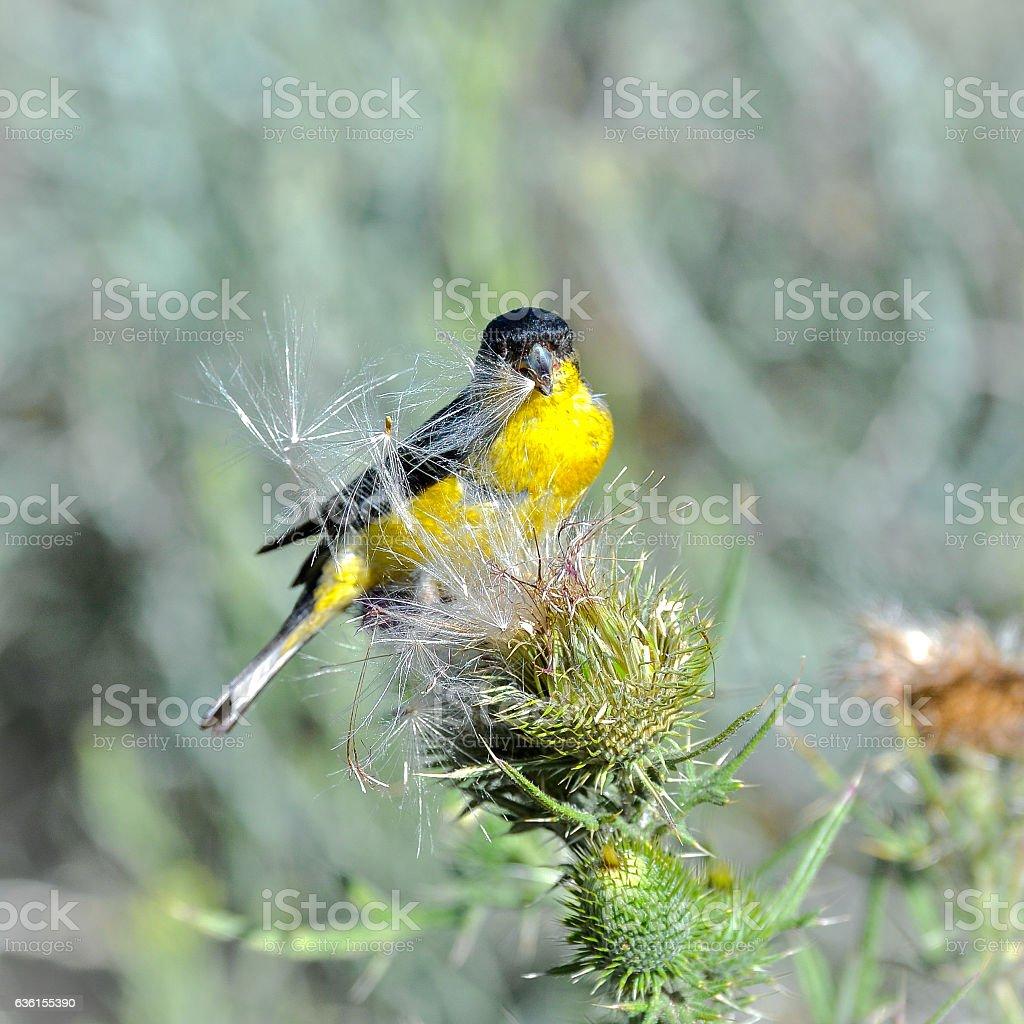 Goldfinch, bird stock photo